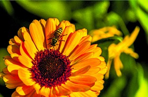 Neonics, that are found in many plants being sold in commercial retail markets, can kill our bees. Bees are important pollinators! Photo: http://farm9.static. flickr.com/8506/8475706265_849d8269a5_m.jpg