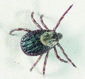 Dog tick. Photo by Gary Alpert, GNU Free Documentation License. Wikimedia Commons