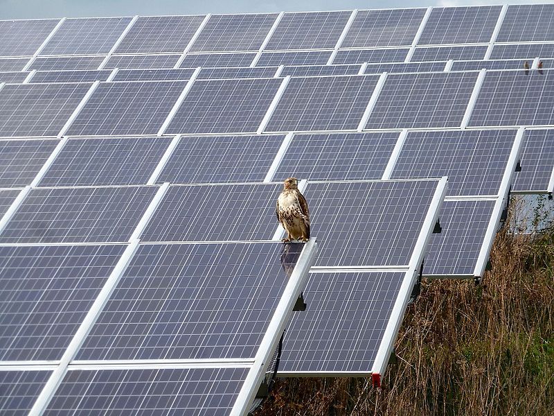 A red-tailed hawk rests at a solar farm in Michigan. (Photo: Deb Nystrom, Wikimedia Commons)