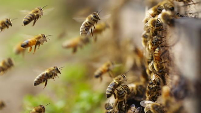 Honey bees (Getty Images)