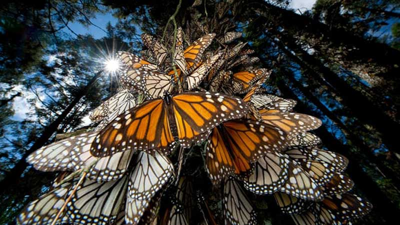 Monarch butterflies (Joel Sartore | NG | Getty Images)